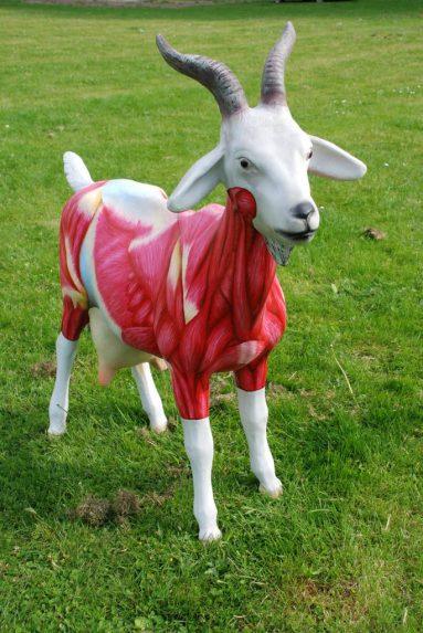Anatomische les, voor de Geitenparade in de Arnhemse wijk Geitenkamp beschilderde kunststof geit